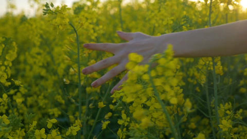 Slow motion of woman hand touching rapeseed flowers walking through countryside  Footage