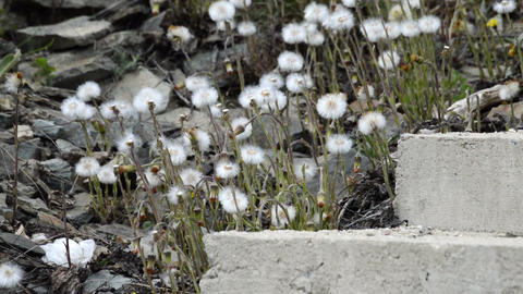Dandelion seeds blown in the wind and concrete stair in the background Footage