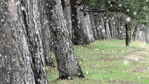 snow falling,old natural forest woods , trees background, green nature landscape Footage