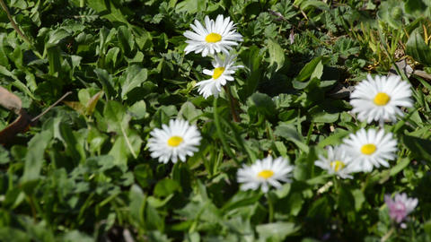 Summer field with white daisies -close up Footage