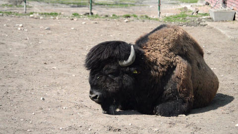 Bison Lying On The Ground Footage