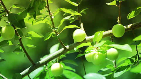 Fresh green plum fruit hanging on tree Footage