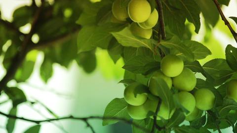 Fresh green plum fruit hanging on tree Footage