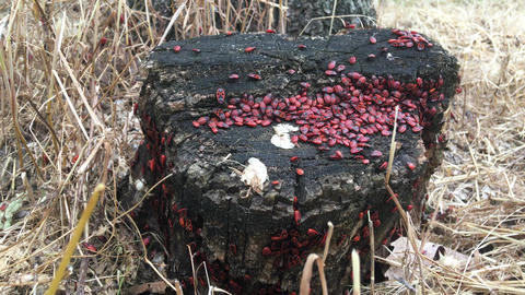 Colony of red bugs