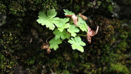 Geranium into moss on stone Footage