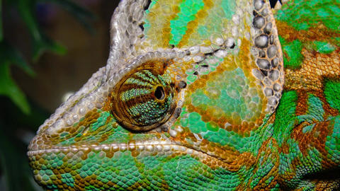 (Chamaeleo calyptratus). The veiled chameleon, cone-head Footage