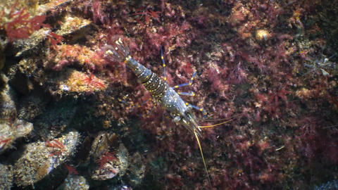 Nutrition of Prawn (Palaemon elegans). Black Sea Live Action