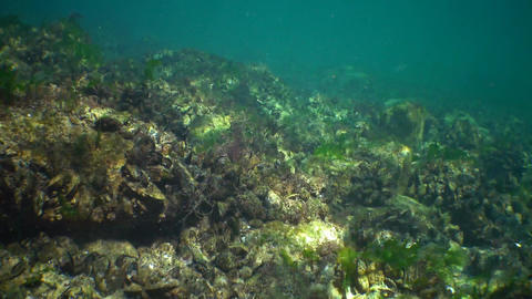Mussels Mytilus galloprovincialis and seaweed Bryopsis on stones, Black Sea Live Action