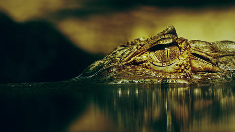 4K Eye of Crocodile Cayman (Caiman Crocodilus), Looking Out From Under Footage