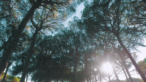 Look Up from Under Cedar Tree Crowns Footage