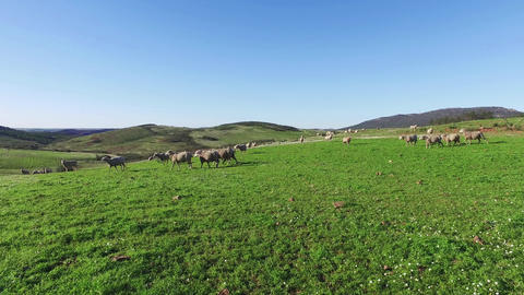Flock of Sheep Grazing in Mountains Footage