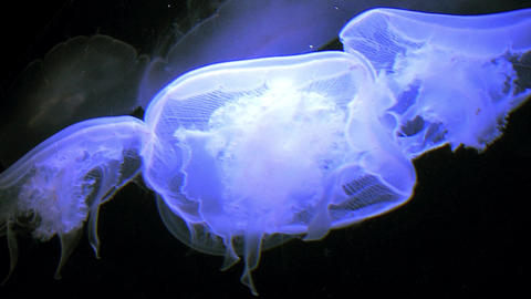 White Jelly Fish Floating Under Black Light Footage