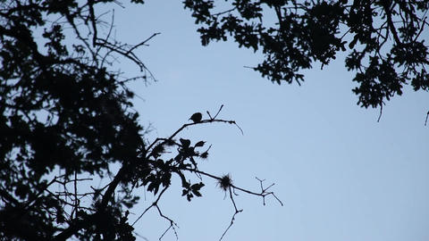 Songbird silhouette in early morning Filmmaterial