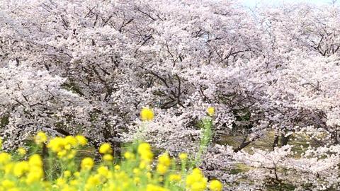 Cherry blossom and rape blossom Live Action