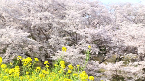 Rape blossom and cherry blossom Live Action