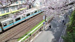 Cherry blossom , pedestrian , train ビデオ