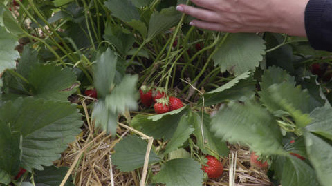 Person piking up the strawberries in the garden Footage