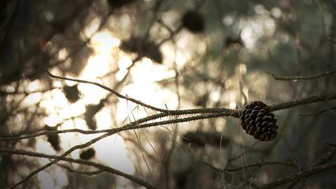 Stone Pine Cone Footage