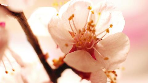 Beautiful Cherry Blossom 13 Footage