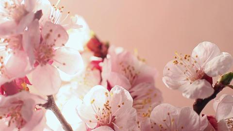 Beautiful Cherry Blossom 3 Footage