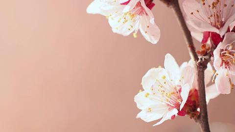 Beautiful Cherry Blossom 5 Footage
