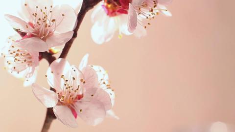 Beautiful Cherry Blossom 7 Footage