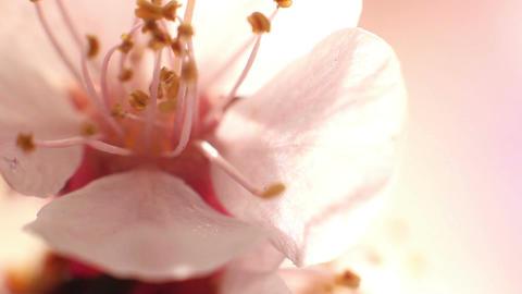 Beautiful Cherry Blossom 8 Footage