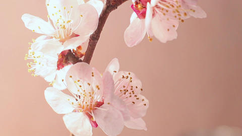 Beautiful Cherry Blossom Loop Footage