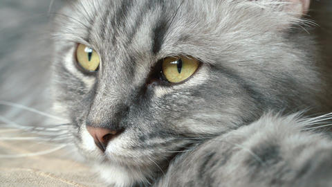 Close-up video of cat's face Footage