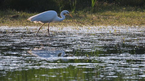 Great egret (Ardea alba), also known as the common egret, large egret or (in the ビデオ