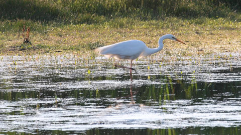 Great egret (Ardea alba), also known as the common egret, large egret or (in the Footage