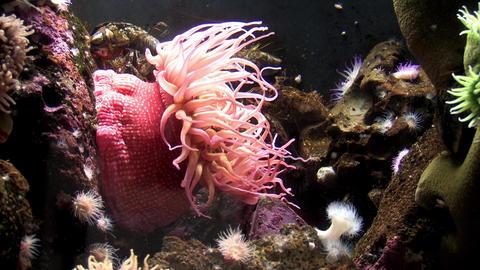 Sea Anemone Ocean Aquatic Life ビデオ