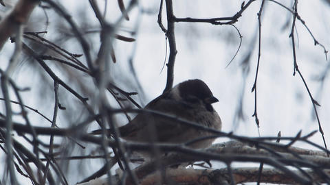 Sparrow Sitting On A Branch stock footage