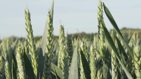 Industrial Agriculture Green Wheat Closeup Footage