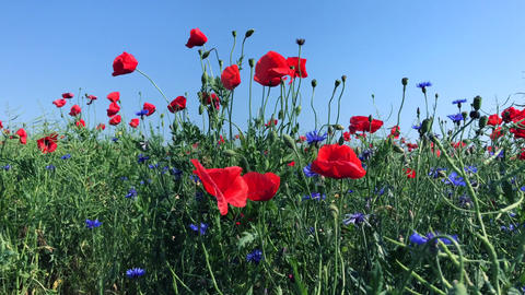 Field with blue cornflowers and red poppies