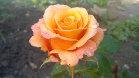 Multi colored rose in the garden Zooming GIF
