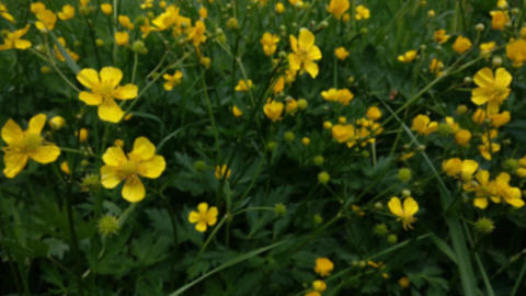 Meadow Buttercup in the wind Zooming Footage