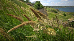Calamagrostis (reed grass or smallweed) is a genus in the grass family Poaceae Live Action