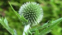 Echinops in the garden - macro Filmmaterial