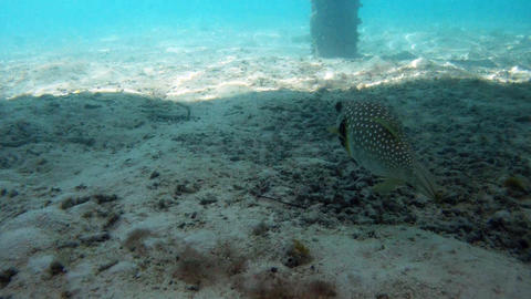 Whitespotted pufferfish Footage