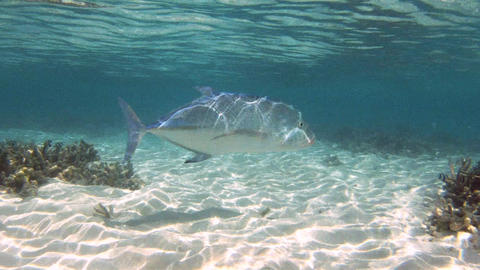 Giant trevally Footage