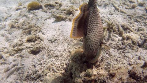 Triger Fish stock footage