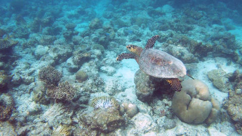Green sea turtle Footage