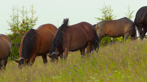A herd of horses grazing on mountain pasture Footage