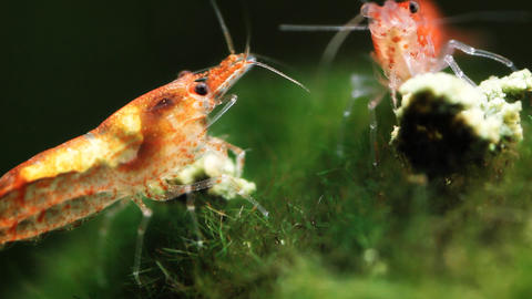 Red Cherry Shrimp Footage