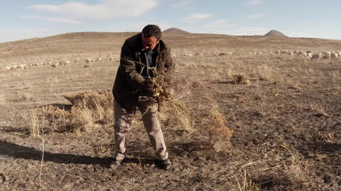 Shepherd collects dry grass and thorns dusty terrain Footage