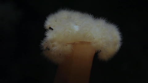 Motion of beautiful giant plumose anemone Footage