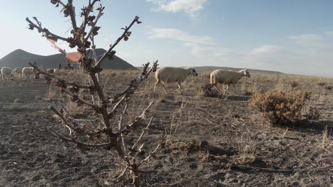 A herd of sheep moves in dusty terrain dry grass in front of the camera far volc Footage