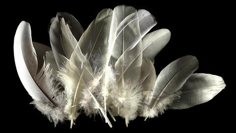 Animation composed with feathers isolated on black. Waft blowing on feathers Animation