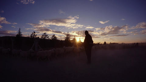Silhouette of the shepherd looking at the walking sheep in the evening sun, dirt Footage
